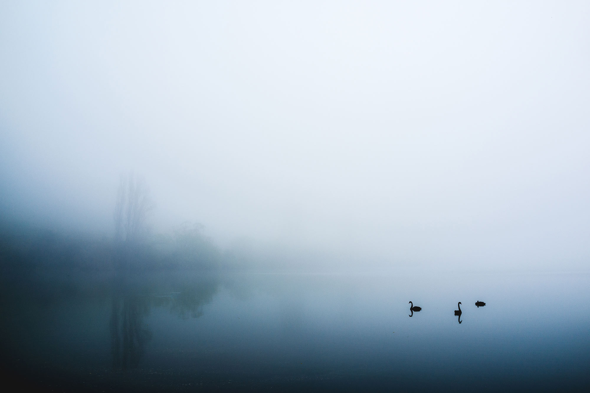 Swans in the misty lake around Queenstown, NZ