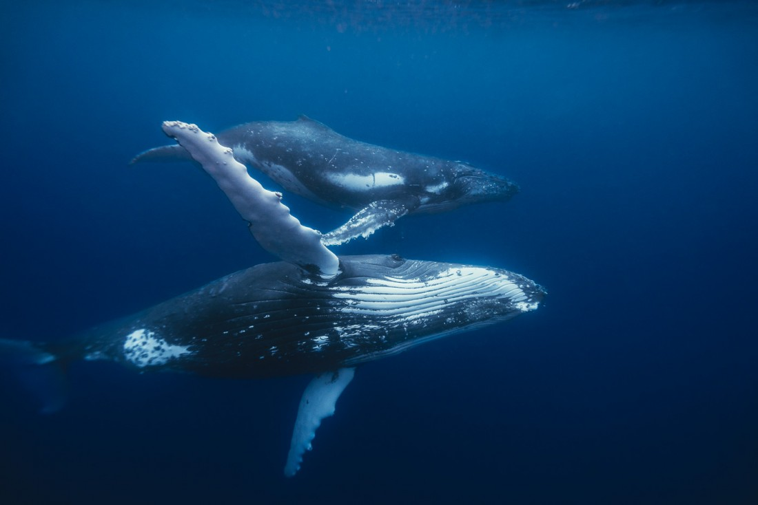 swimming with whales in Tonga-04157