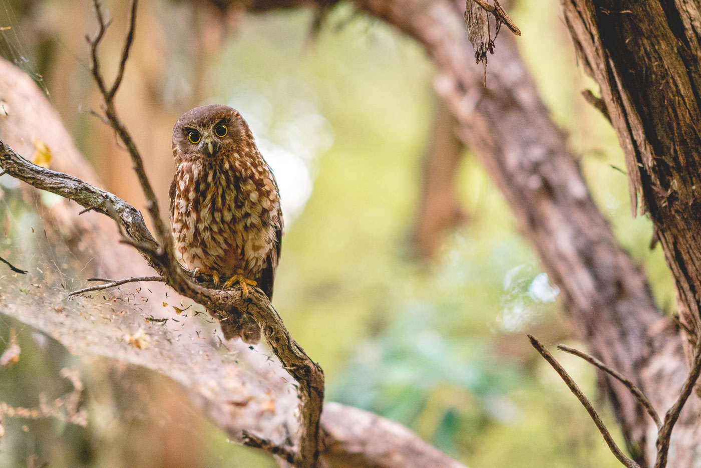 Friendly NZ native morepork in the bush at Great Barrier Island in New Zealand. Photo by Sony Ambassador Stefan Haworth