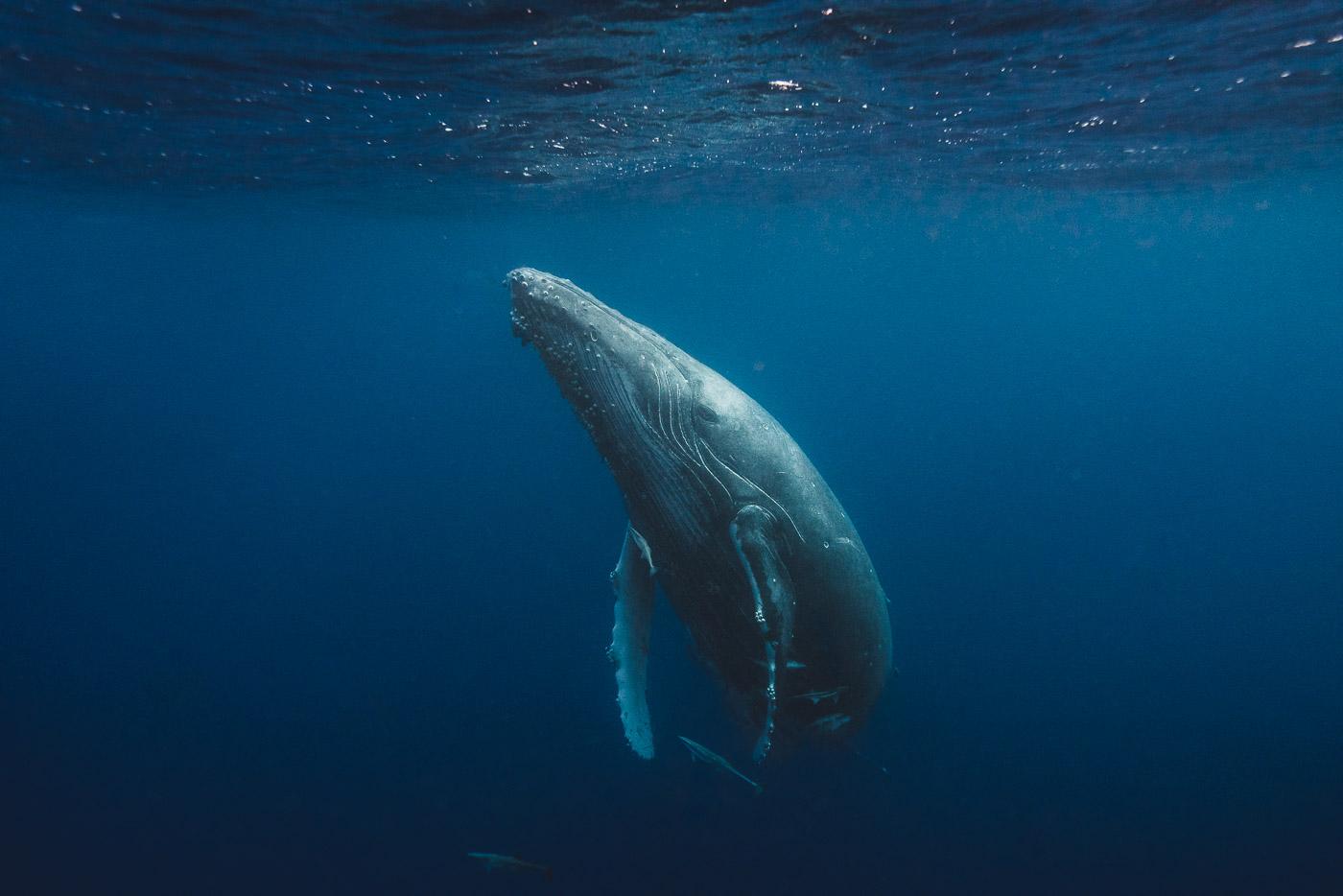 Humpback whales in Vava'u Tonga